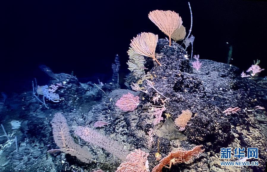 """(图文互动)(1)""""科学""""号在马里亚纳海沟发现多处罕见""""海底花园"""""""